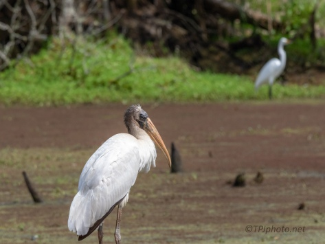 Wood Stork Portraits