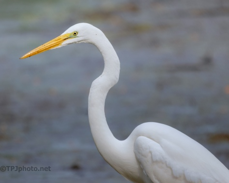 Portrait, Great Egret