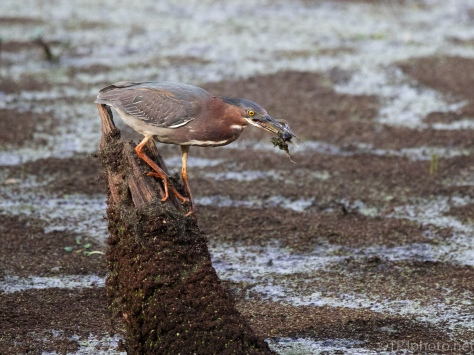 Green Heron With Catch