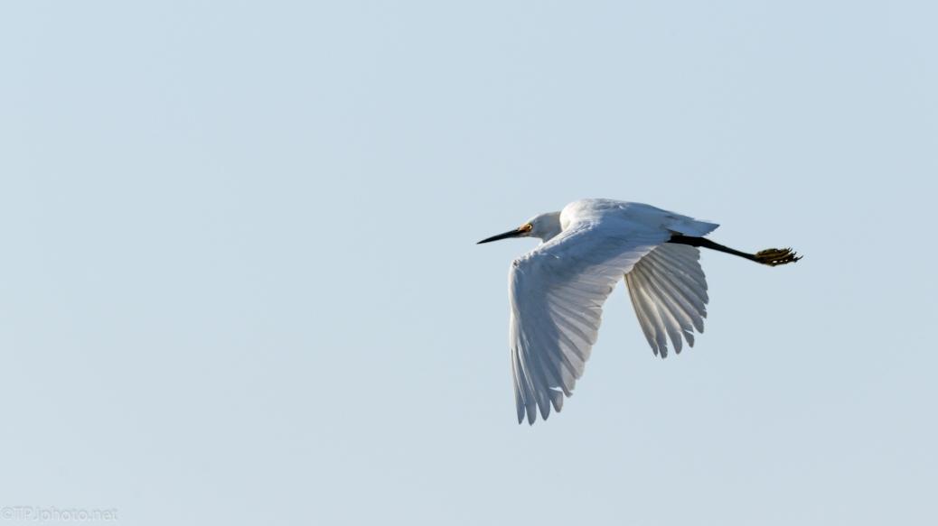 A Reflex Shot, Snowy Egret