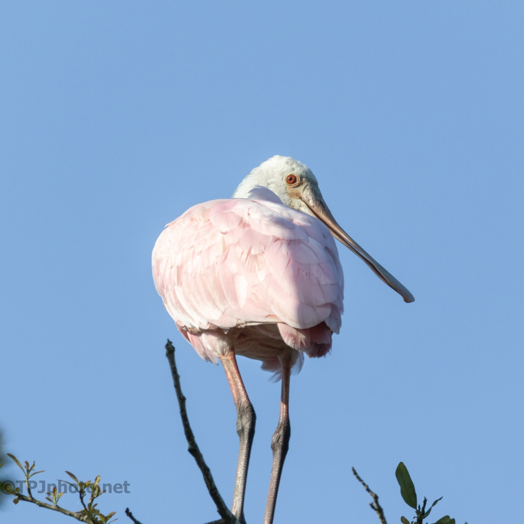 Checking On Me, Spoonbill