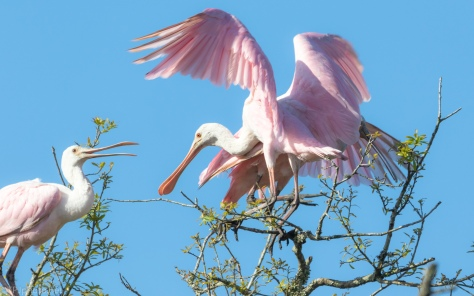 They Love Small Branches, Spoonbill