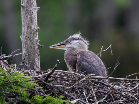 Everything Is Still New, Great Blue Heron