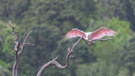 A Graceful Landing, Spoonbill