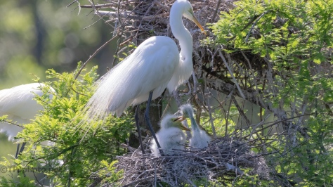 Triplets, Egret