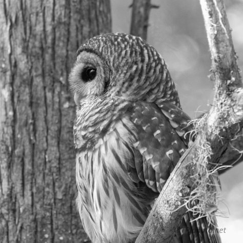 Barred Owl, In Black And White