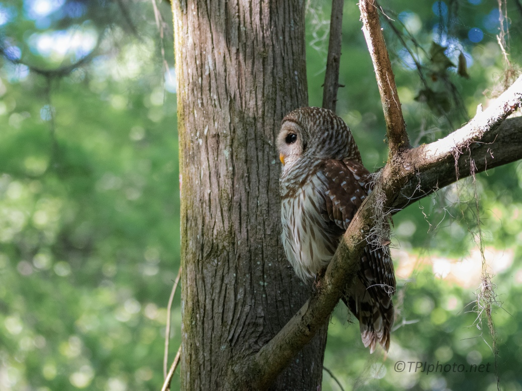 Barred Owl Hunting Over A Swamp