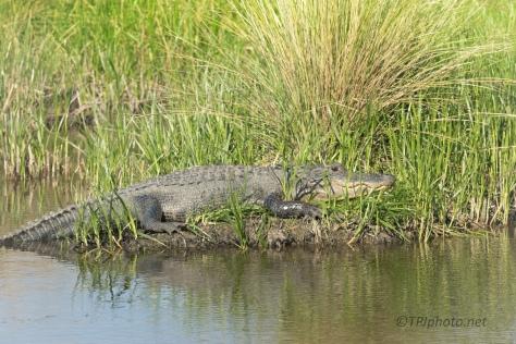Visiting With The Locals, Alligators