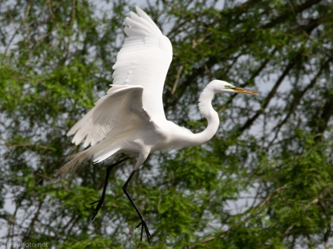Egret Flight