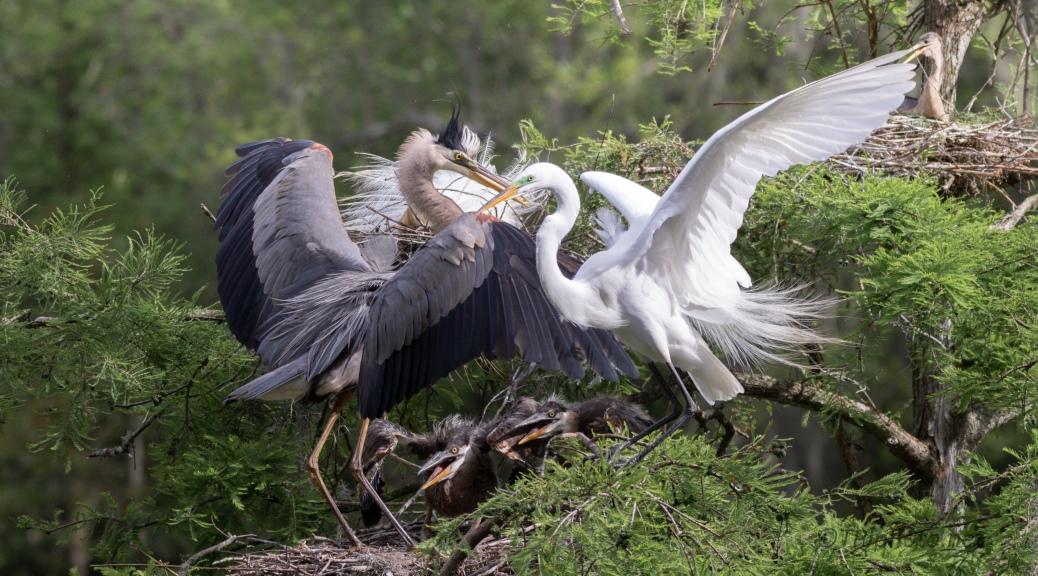 A Discussion, Heron, Egret