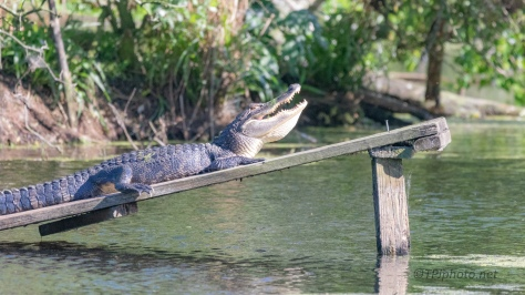 Must Be Having A Good Day, Alligator