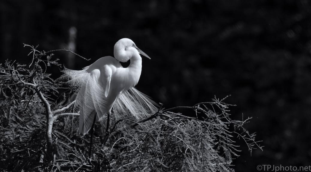 Great Egret, Monochrome