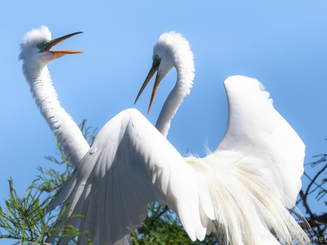 An Egret Greeting