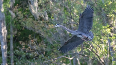 Great Blue Going By