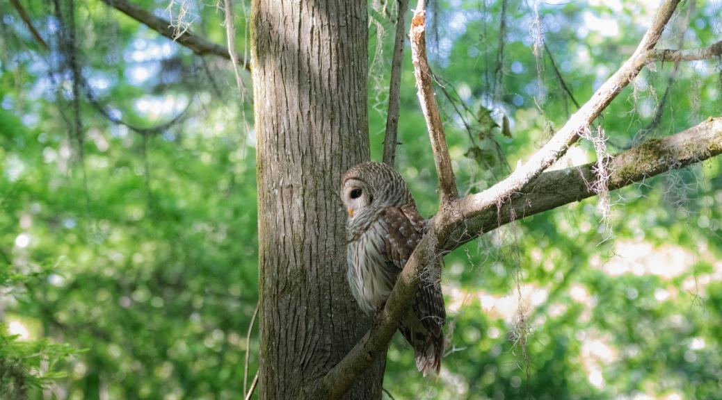 His Favorite Spot, Barred Owl