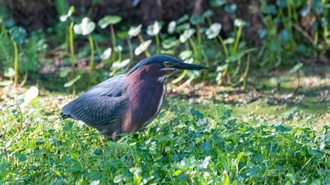 Green Heron In A Wetlands Field