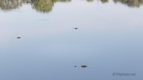Water Bumps, Alligator