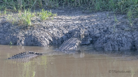 It's Not East Being Big, Alligator