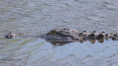 Going My Way, Alligator