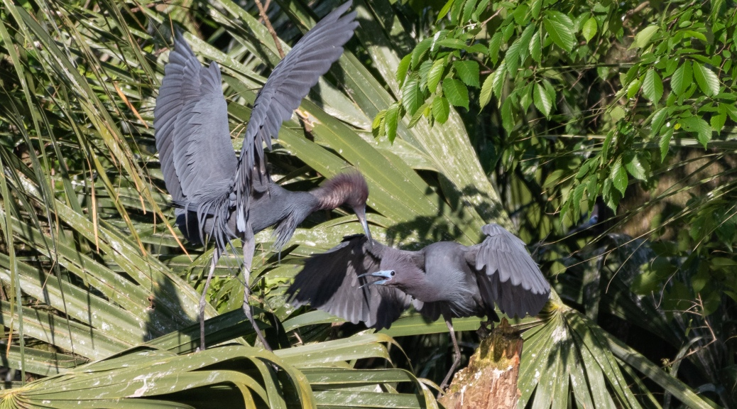 Little Blue Heron, A Discussion