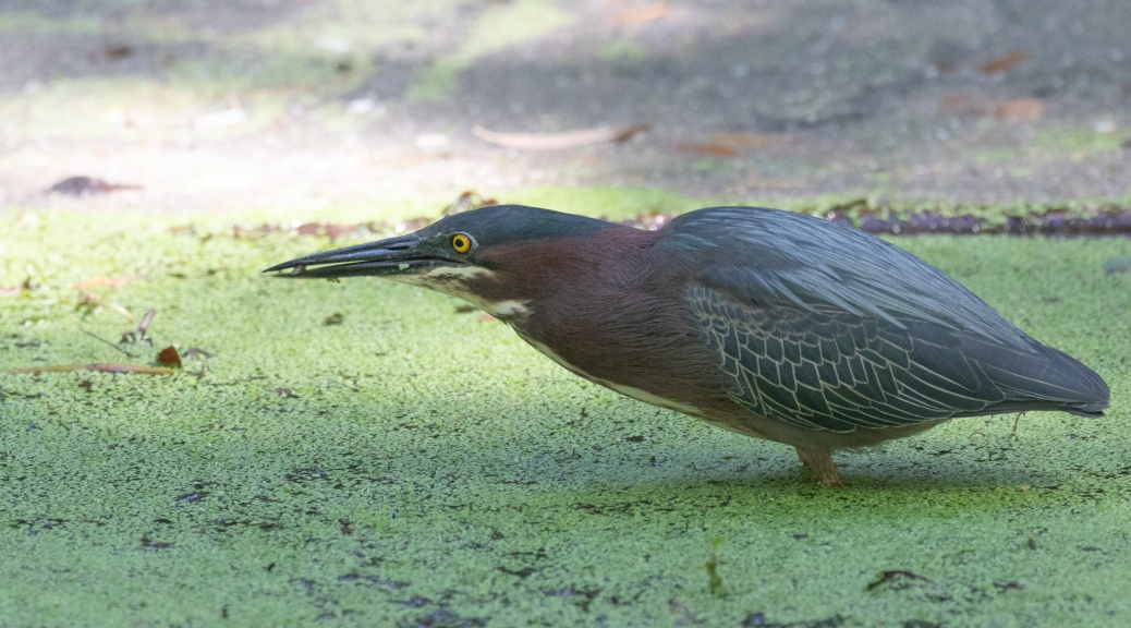 Hunting In Shallows, Green Heron