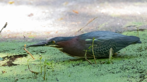 Going Low, Green Heron