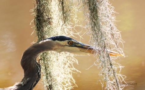 In The Spanish Moss, Heron