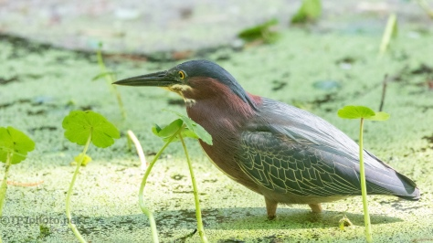 Lip Lapping, Green Heron