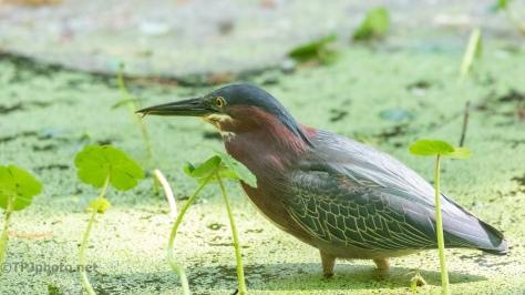 Lip Lapping, Green Heron