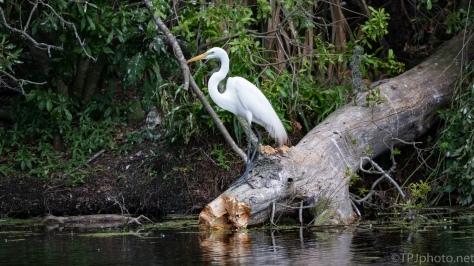 Egret On A Rookery Island