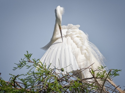 Taking Inventory, Great Egret