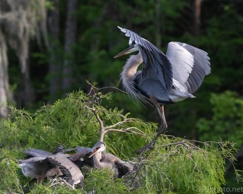 Great Blue Heron Guarding Young