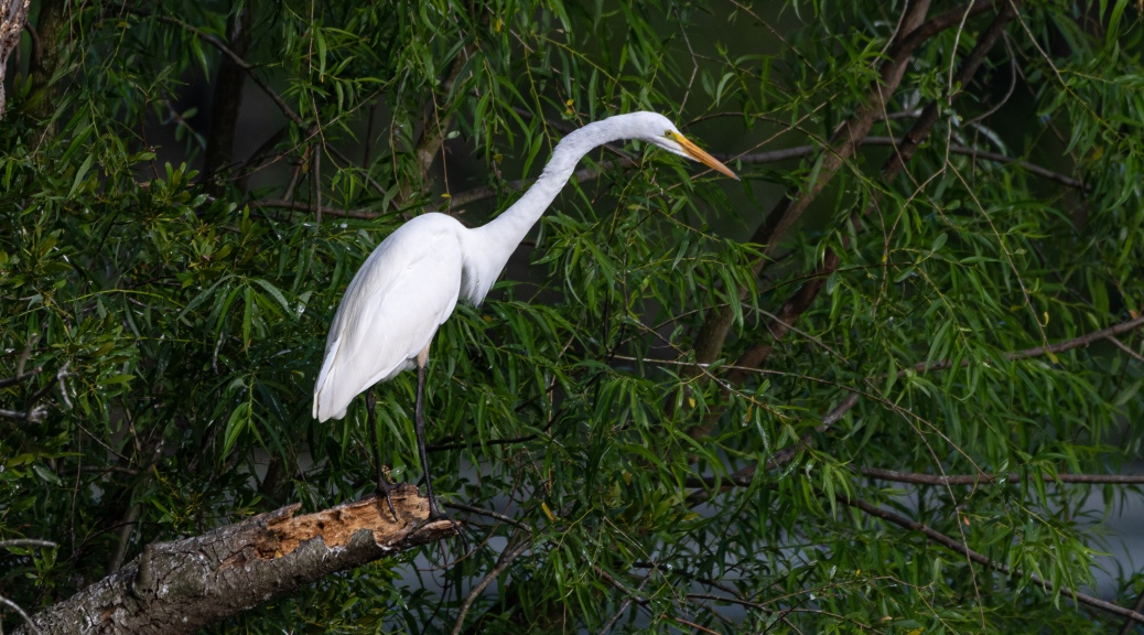Hunting, Great Egret