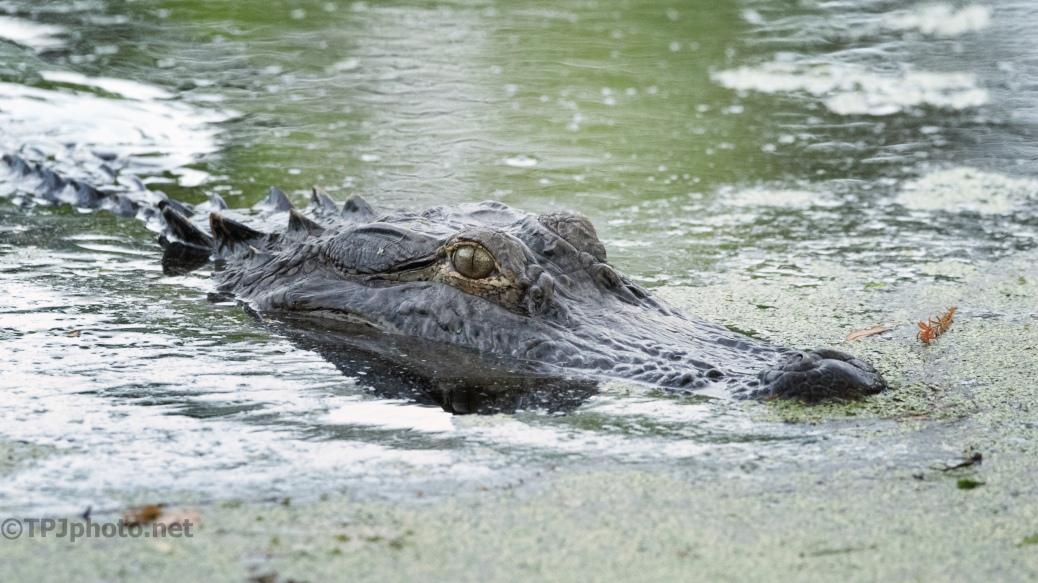After Golden Hour, Alligator