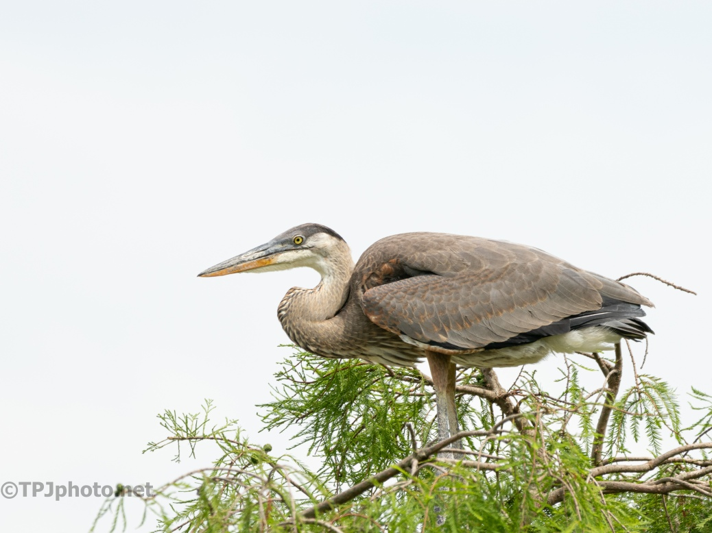 Waiting For A Delivery, Young Great Blue