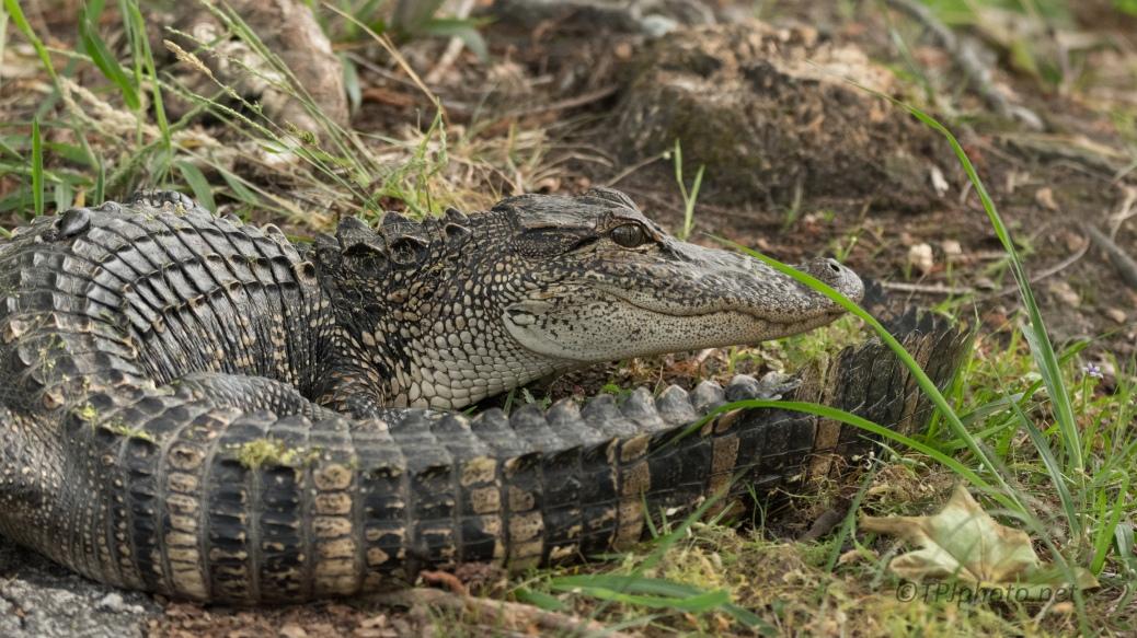 On A Trail, Alligator