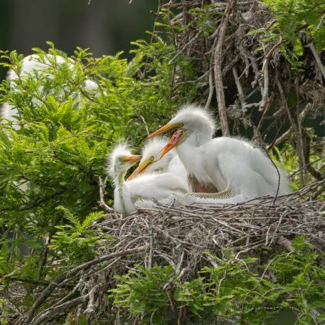 Loud, Young Egrets