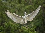 A Dramatic Entrance, Egret
