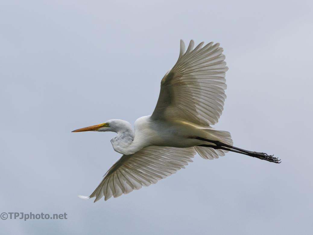 Great Egret, In Close