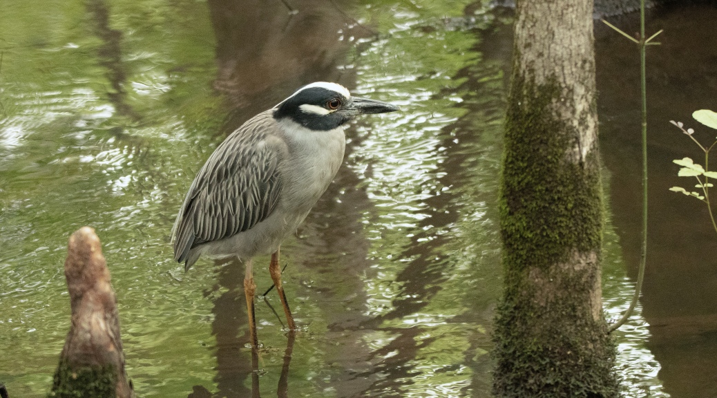 Night Heron In Cypress