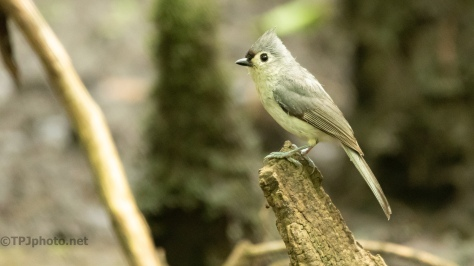 Tufted Titmouse In A Swamp