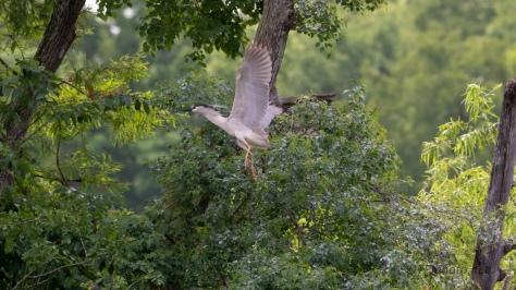 Night Heron Quick Shots