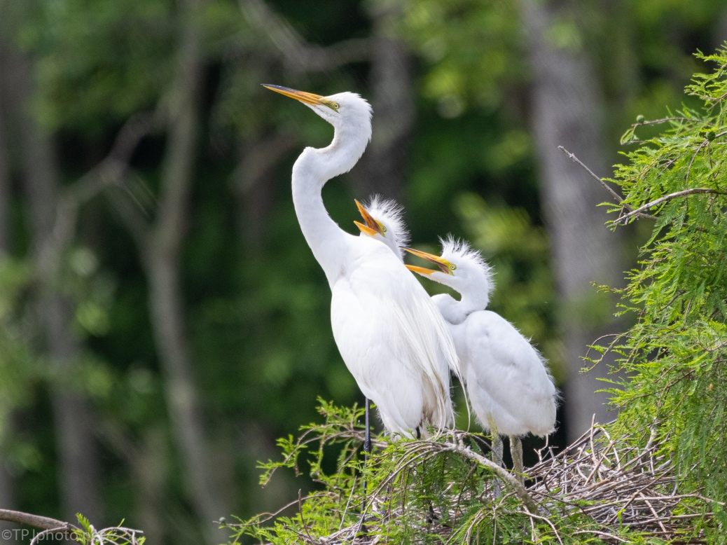 Great Egrets, Young Begging For Food