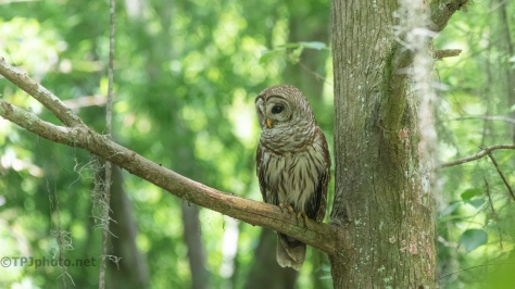 Quietly Waiting, Barred Owl