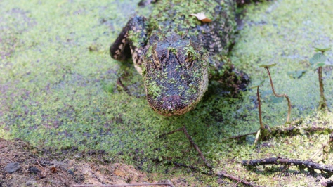 Pushy Bugger, Alligator