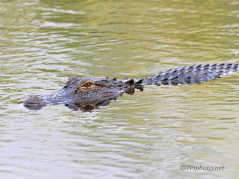 Impatient Alligator