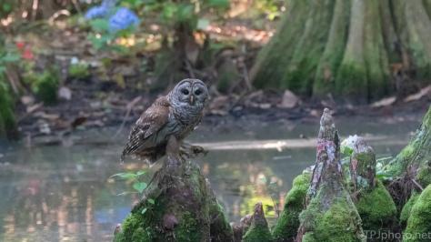 Barred Owl, A Successful Hunt