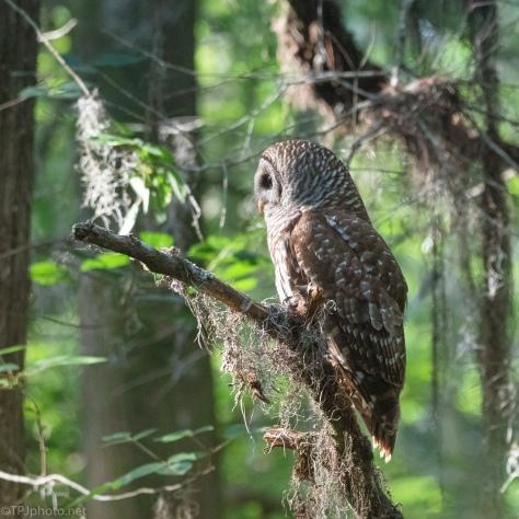 Owl, First Light