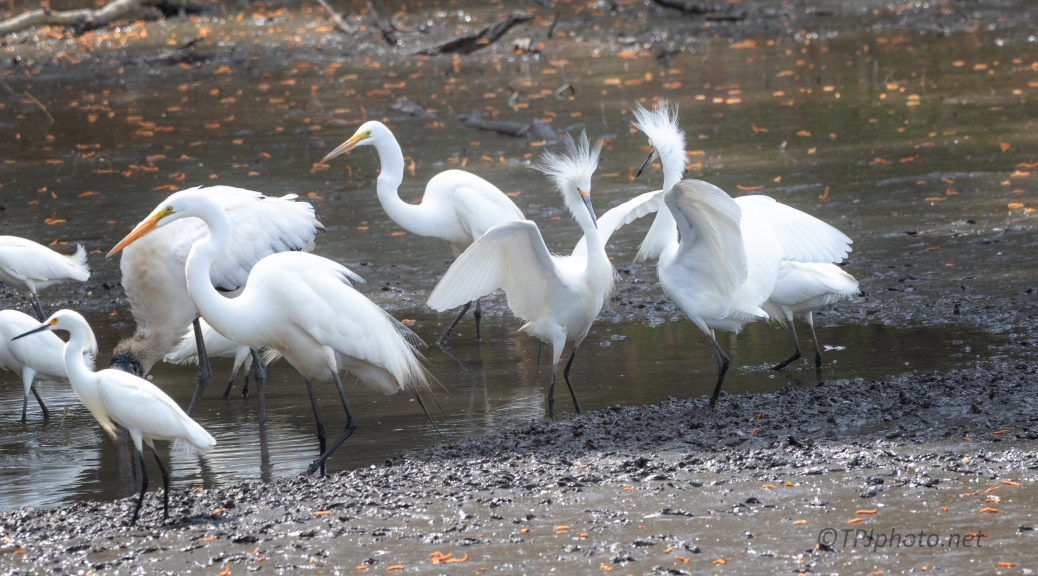 Snowy Egret Doing What They Do Best, Being Foolish
