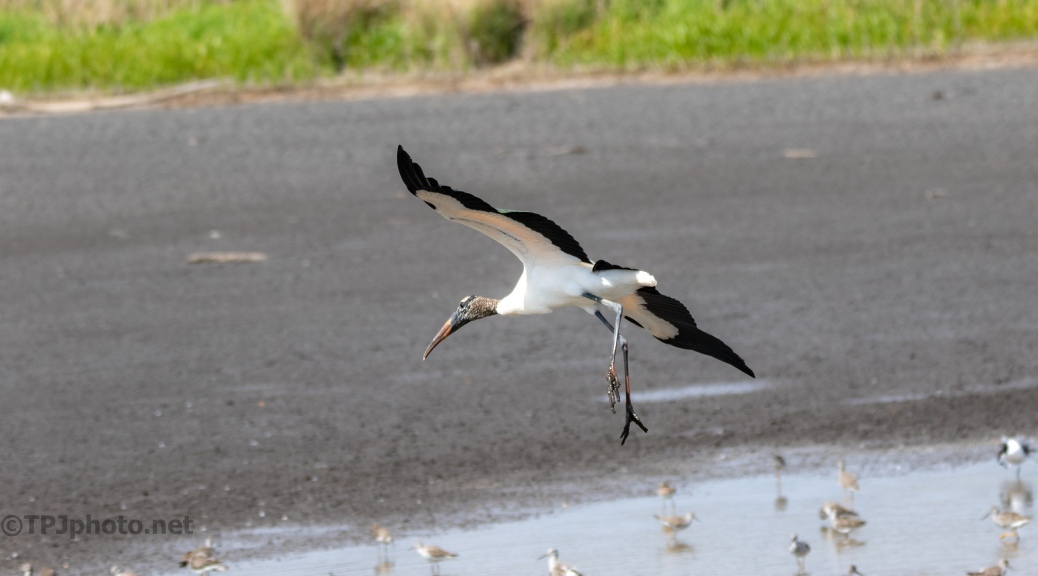 Wood Stork, Gliding To A Stop